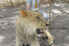 Rencontre avec les lions Ô Cœur de Passy