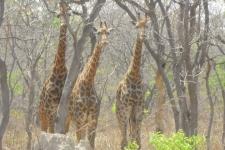 Rencontre avec les giraffes Ô Cœur de Passy