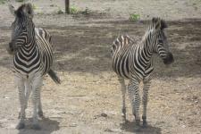 Safari, Sénégal, Ô Coeur de Passy