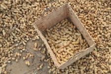 Culture de l'arachide